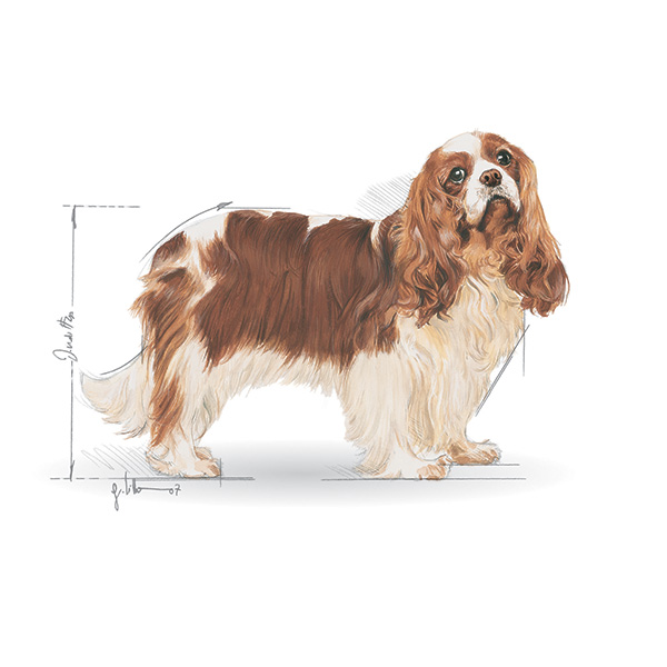 Royal Canin Cavalier King Charles španjel - 1,5 kg