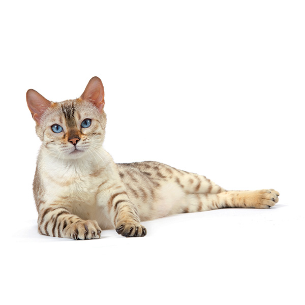 Royal Canin Adult Intense Beauty- omaka - 85 g