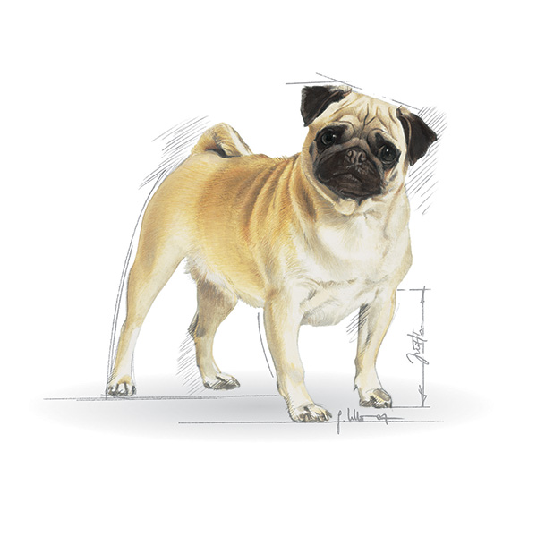 Royal Canin Mops - 3 kg
