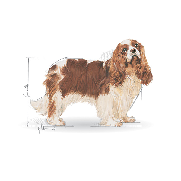 Royal Canin Cavalier King Charles - 3 kg