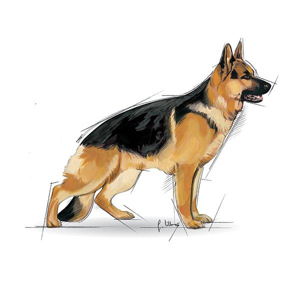 Royal Canin Adult Maxi - perutnina - 15 kg