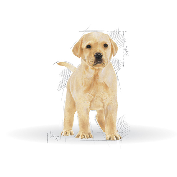 Royal Canin Labradorec Junior - 3 kg
