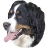 Pasemske nalepke, različne pasme (2 kos) bernski planšarski pes