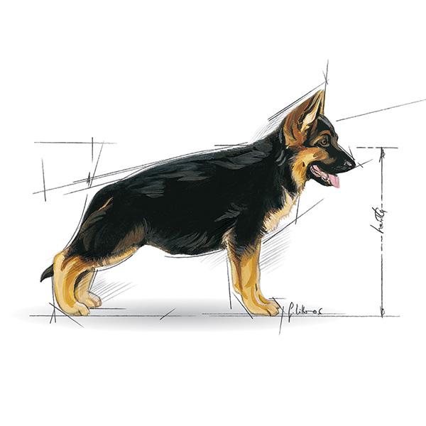 Royal Canin Junior / Puppy Maxi