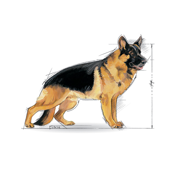 Royal Canin Senior Maxi