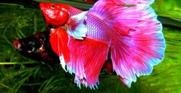 Betta splendens – v naravi!